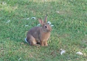 coniglio-ibrido-commerciale